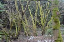 Stromy poroslé mechem u Slavoňova