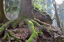 Kořeny na kameni