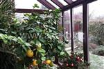 Citrony v zimní zahradě AZ EKOTHERM