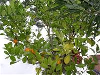 Mandarinky v zimní zahradě společnosti AZ Ekotherm